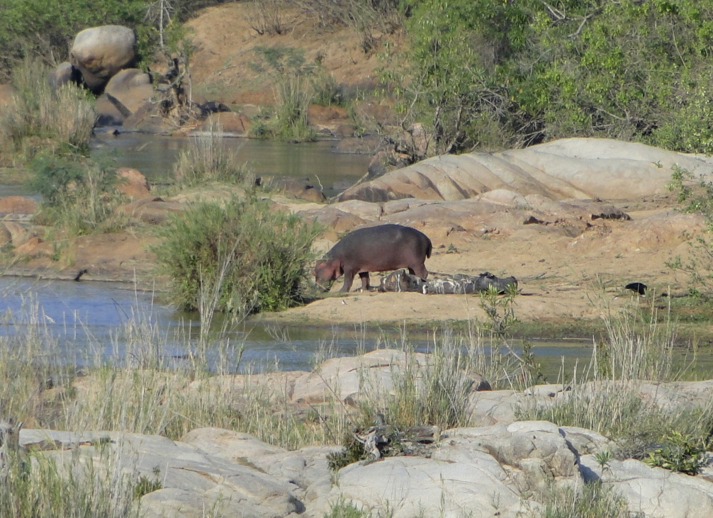 Hippo beside the carcass of another hippo