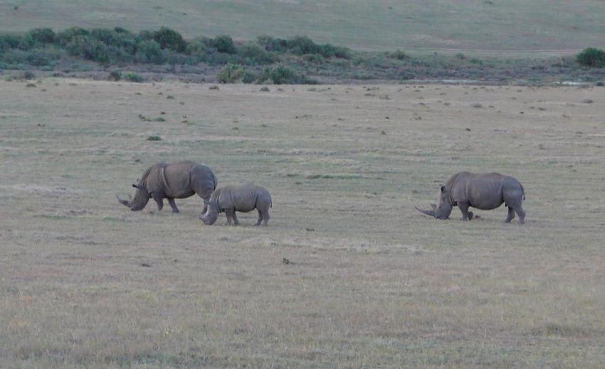 Rhinos - again