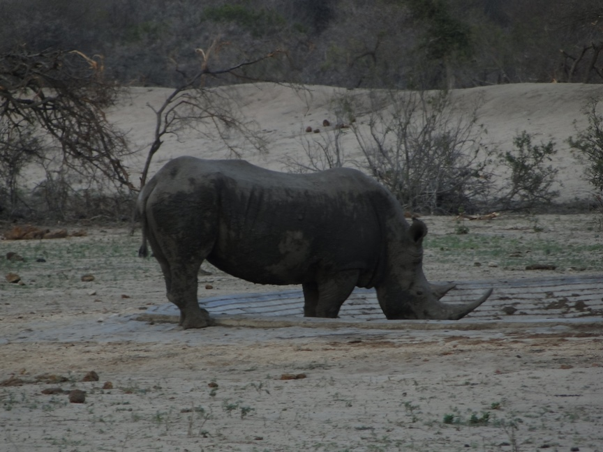 Rhino at a waterhole