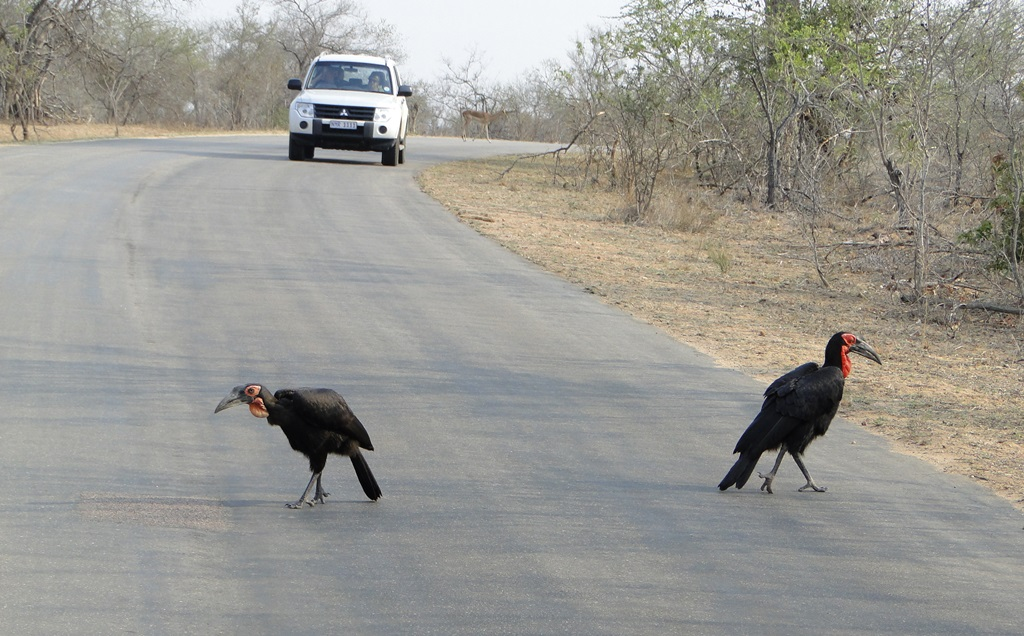 Ground hornbills on the street