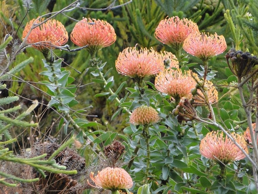 Red proteas