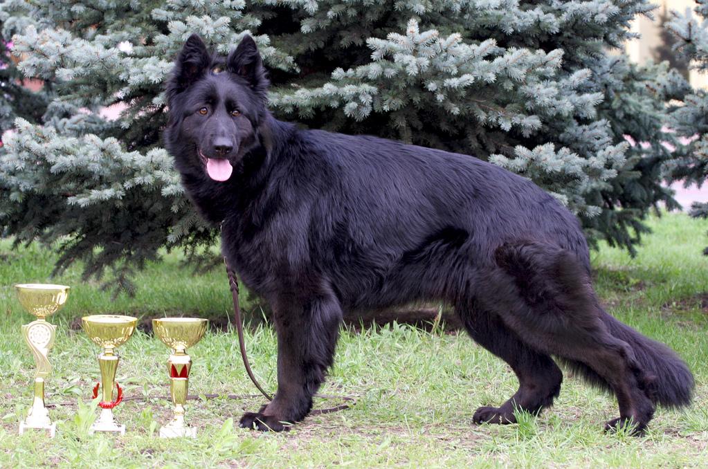 Черная длинношерстная немецкая овчарка