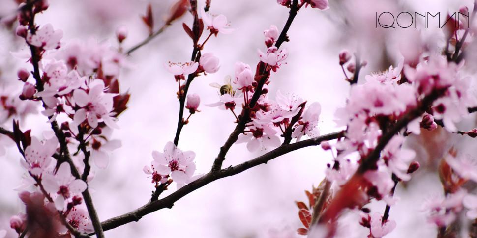 Frühling Blüte Baum Pflaumen Biene Hummel IQONMAN Dimitrios Valiotis Neunkirchen Siegen