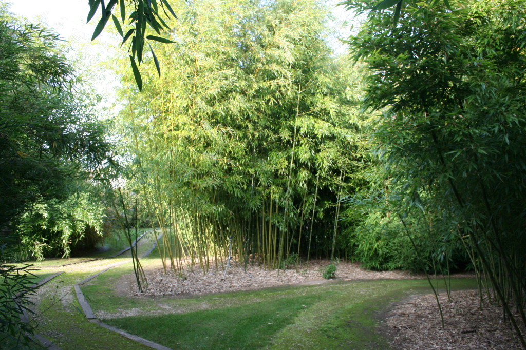 Phyllostachys propinque, bambou géant
