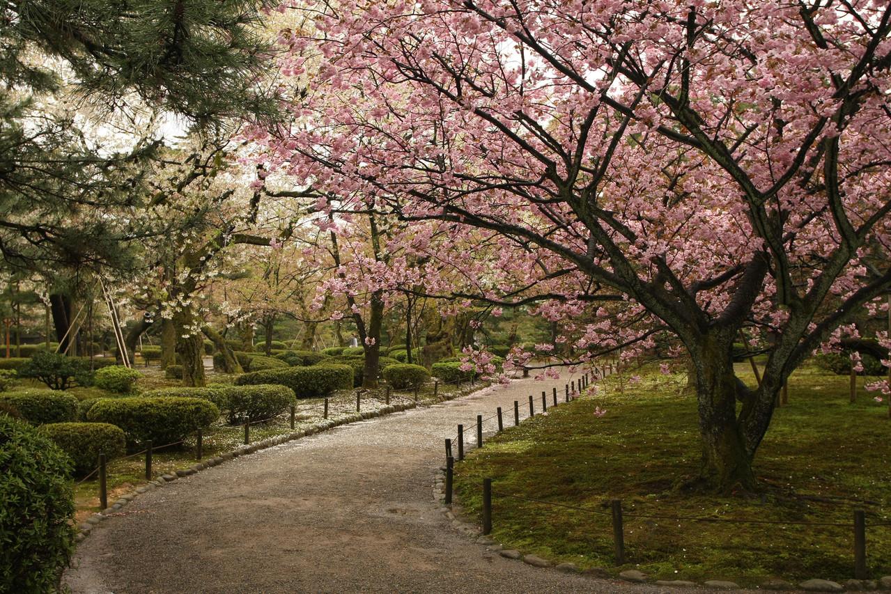 Sakura, Kenroku-En, Kanazawa