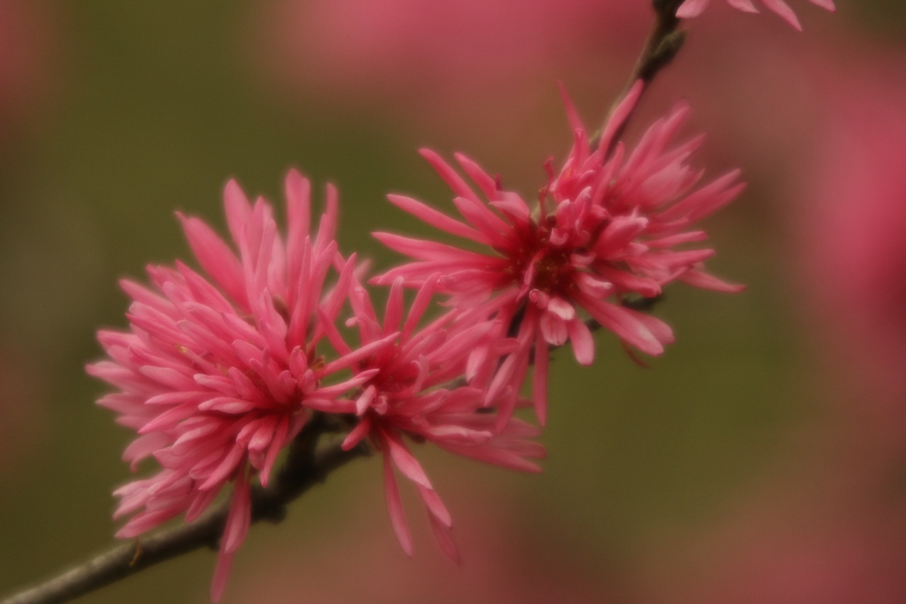 広島市  縮景園 Hiroshima Shukkei-En キクモモ Kikumomo Prunus persica var. stellata