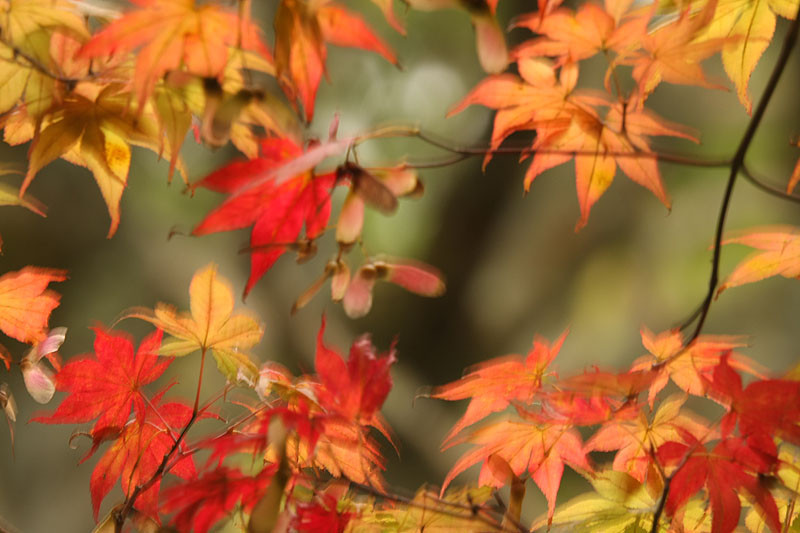 京都,,嵐山, Kyōto, Arashiyama Saihō-ji 西芳寺