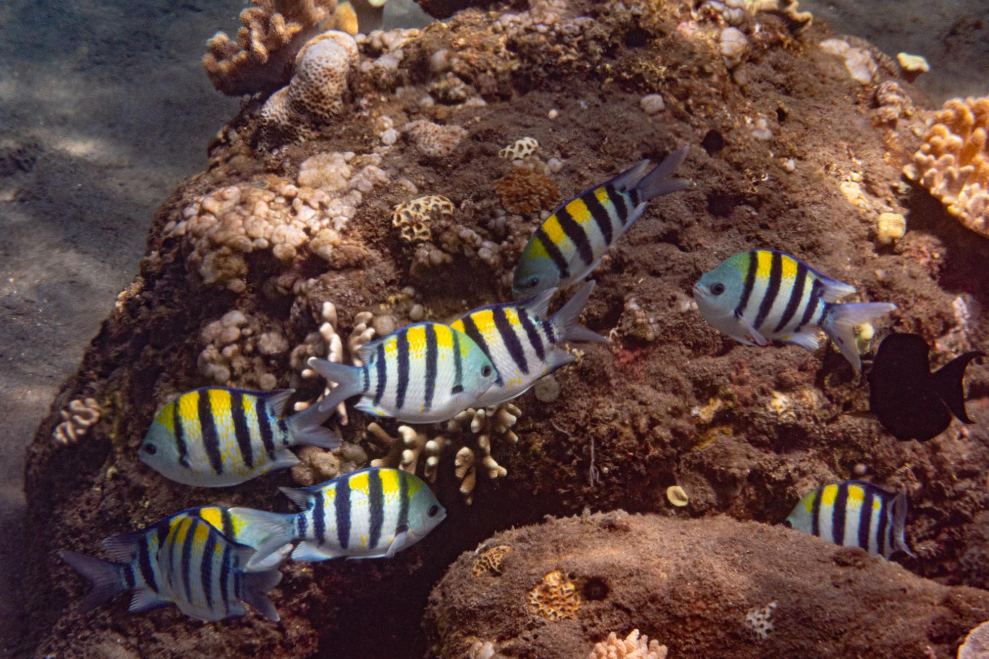 Indo-Pazifischer Feldwebelfisch - Abudefduf vaigiensis (Quoy & Gaimard, 1825)