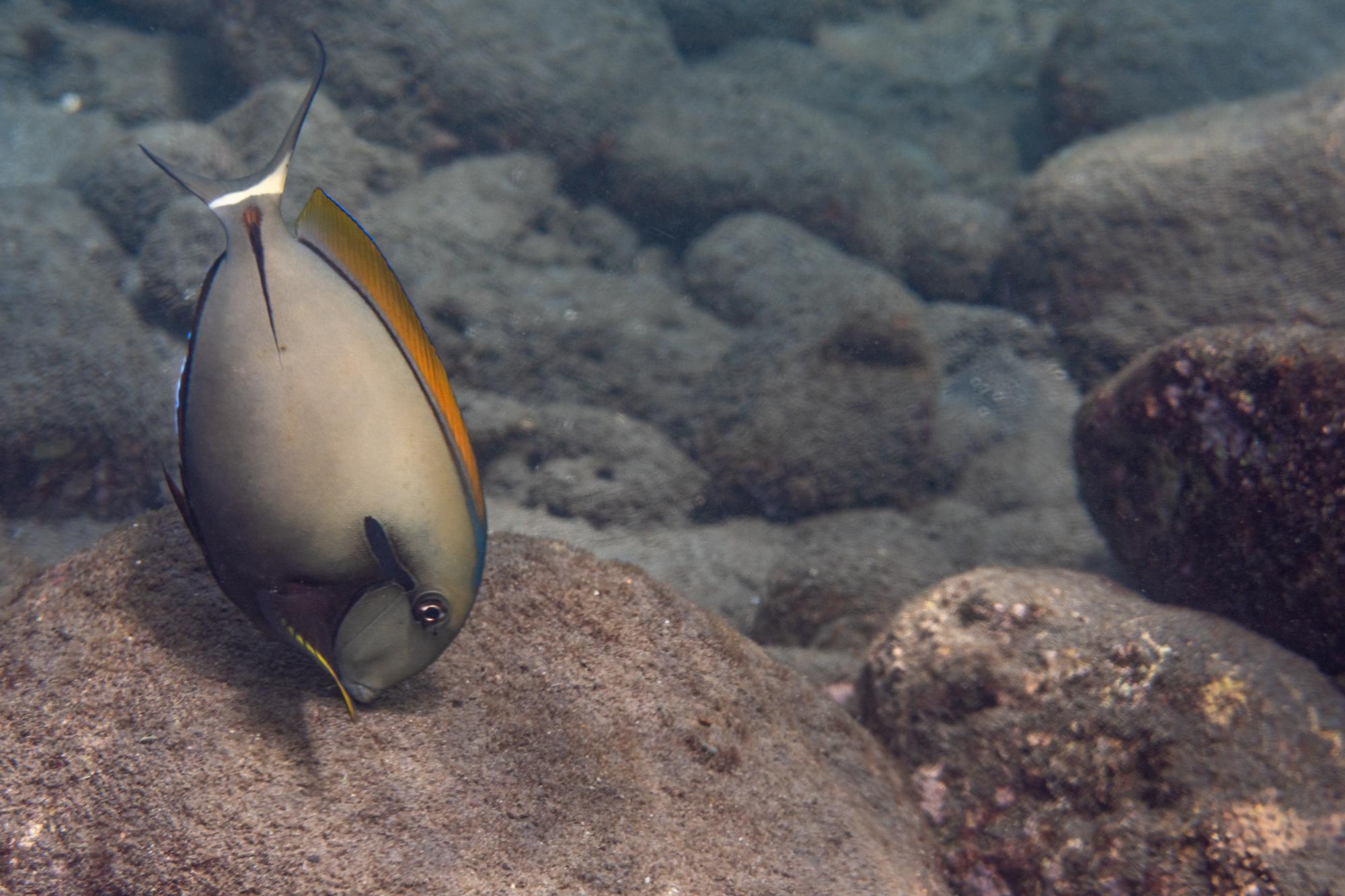Achselkappen-Doktorfisch - Acanthurus nigricauda Duncker & Mohr, 1929