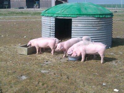 nos premiers cochons