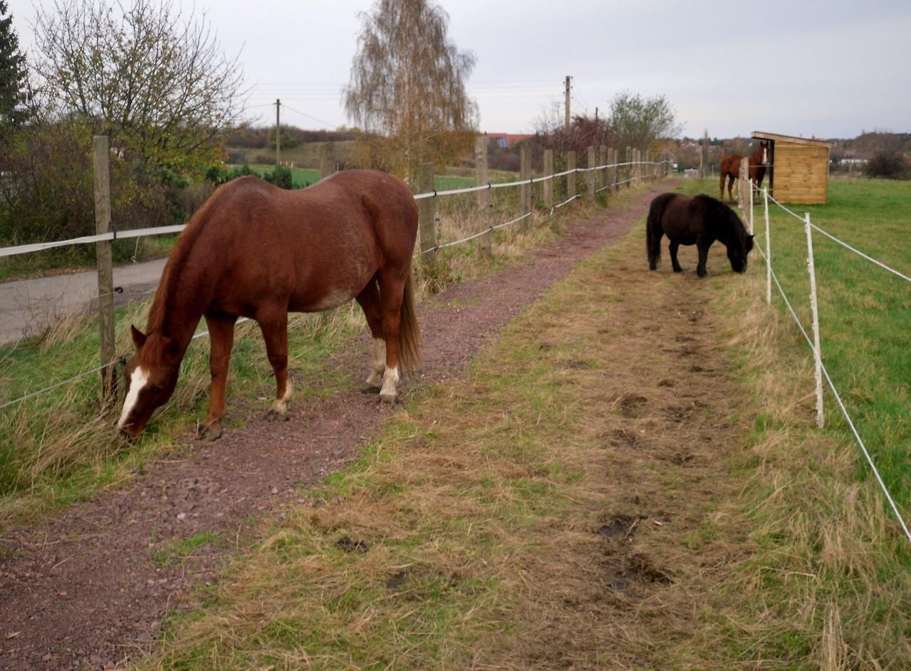 ... Gras knabbern entlang der Zäune (erspart das Freischneiden ;-)) ...
