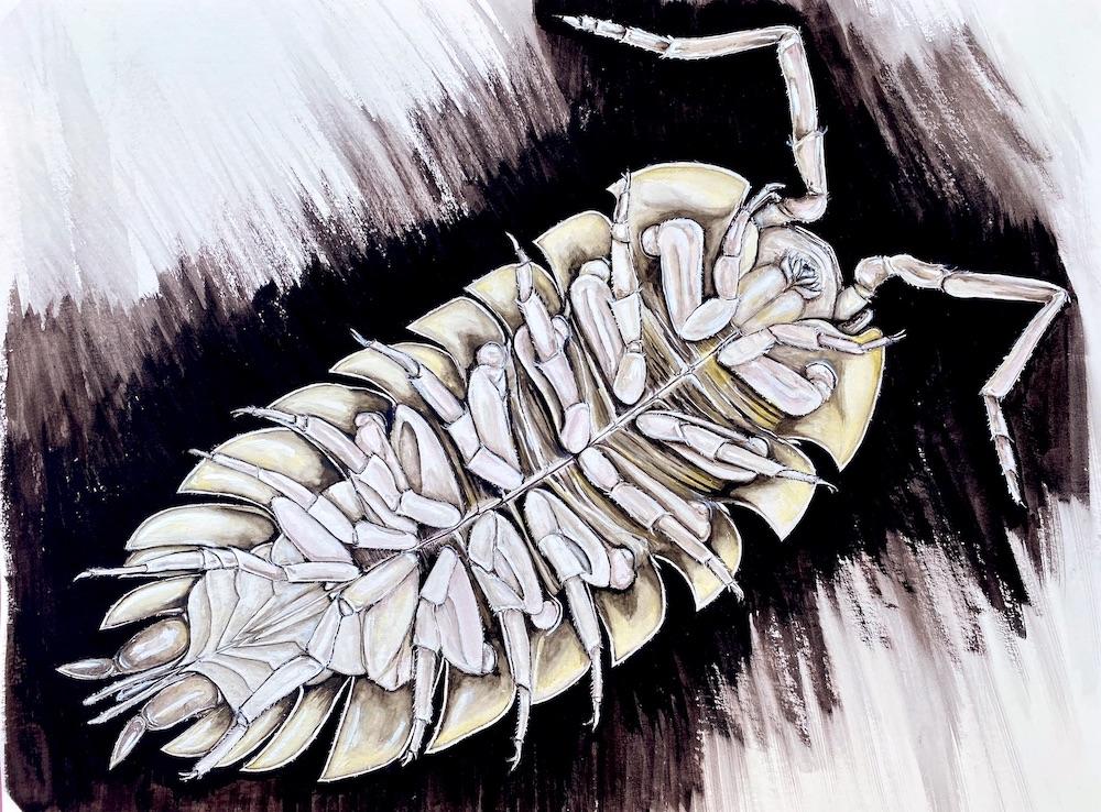 Eine Assel von unten: Sie besitzt sieben Beinpaare. Ganz hinten zwischen den letzten beiden Beinpaaren sind ihre Kiemen zu sehen.
