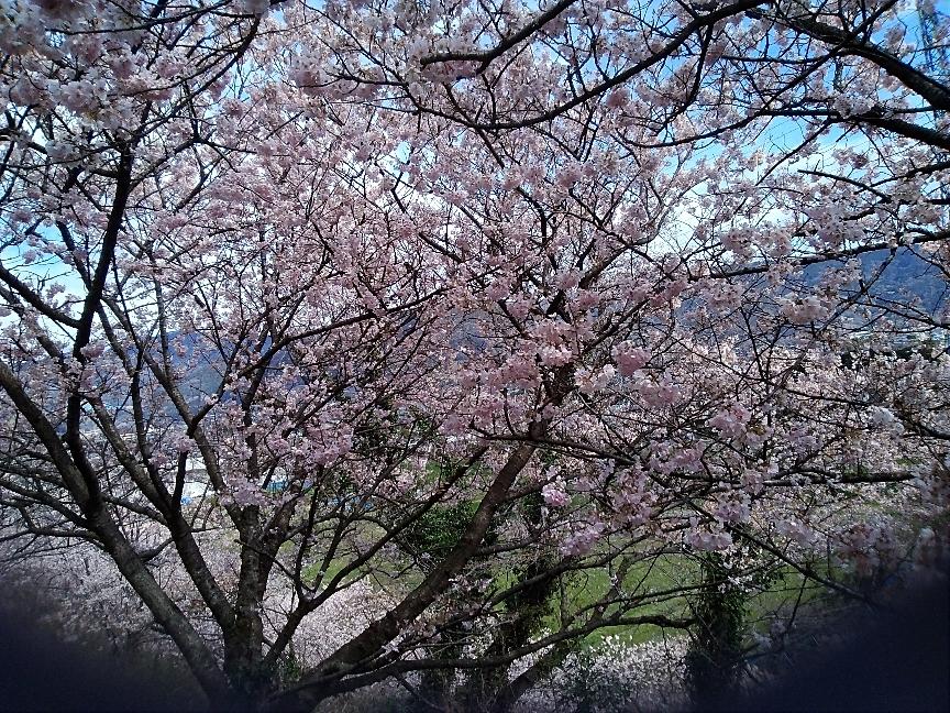 春めき桜、新松田