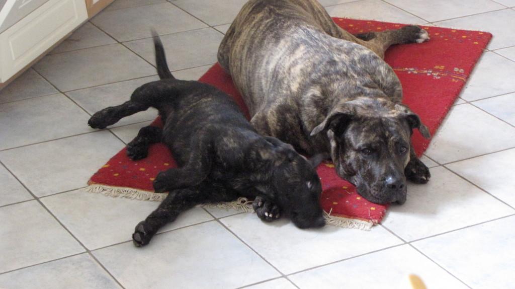 Amer-Picon 11 Wochen alt und Ginger