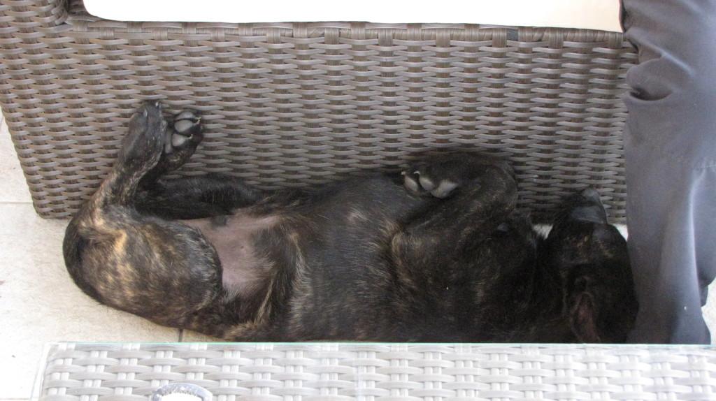 Amer-Picon 11 Wochen alt - Hauptsache gemütlich