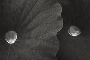 What's New?  最新の記事 蓮の葉に生まれる新たな水滴