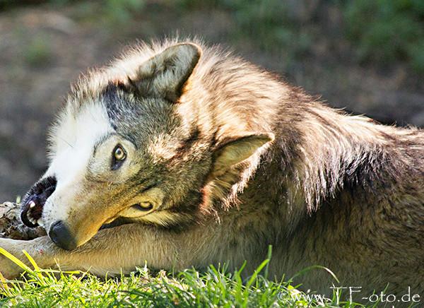 Wolf aus dem Wisentgehege in Springe