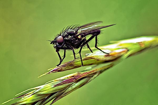 Fliege auf Grasähre