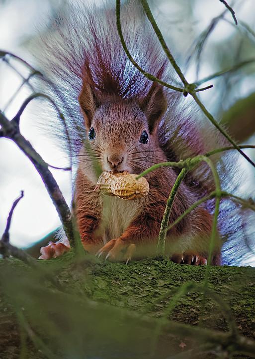 Eichhörnchen, Nachwuchs, Erdnuß, Garten, Resse