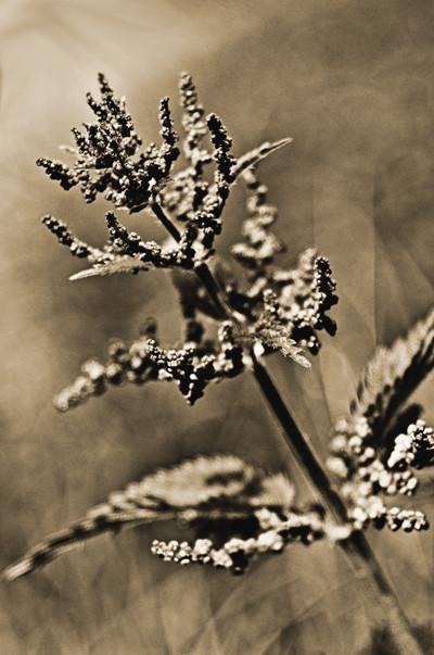 Getonte Schwarzweißfotografie einer Feldblume