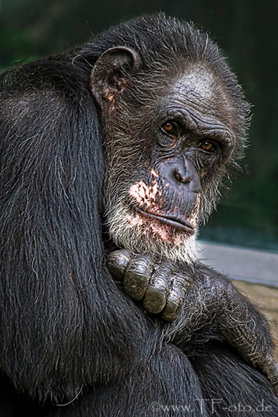 Schimpanse aus dem Zoo in Hannover
