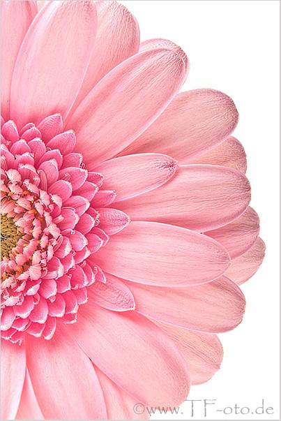 Ausschnitt einer rosanen Gerbera