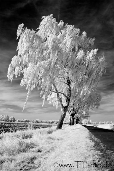 Infrarotfoto einer Birke an einem Feldweg in Kananohe bei Langenhagen