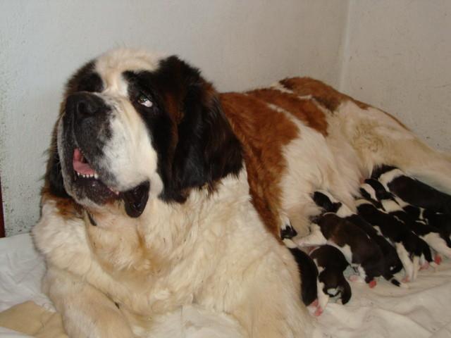 Colette et sa portée née le 24 janvier, 1 jour,