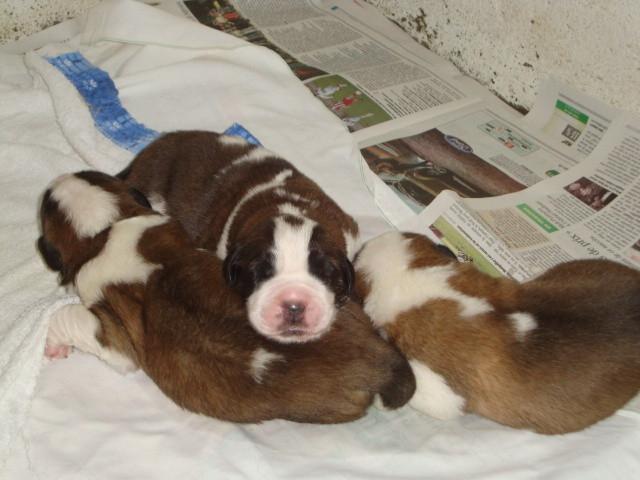 Portée née le 24 juin, 5 jours, chiots à réserver