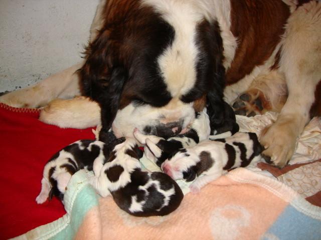 Clarine et sa portée née le 29 décembre