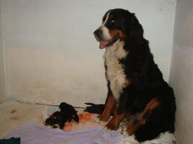 Iumi et ses chiots nés le 22 août