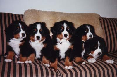 eleveur de chiens font buis de la chenaie