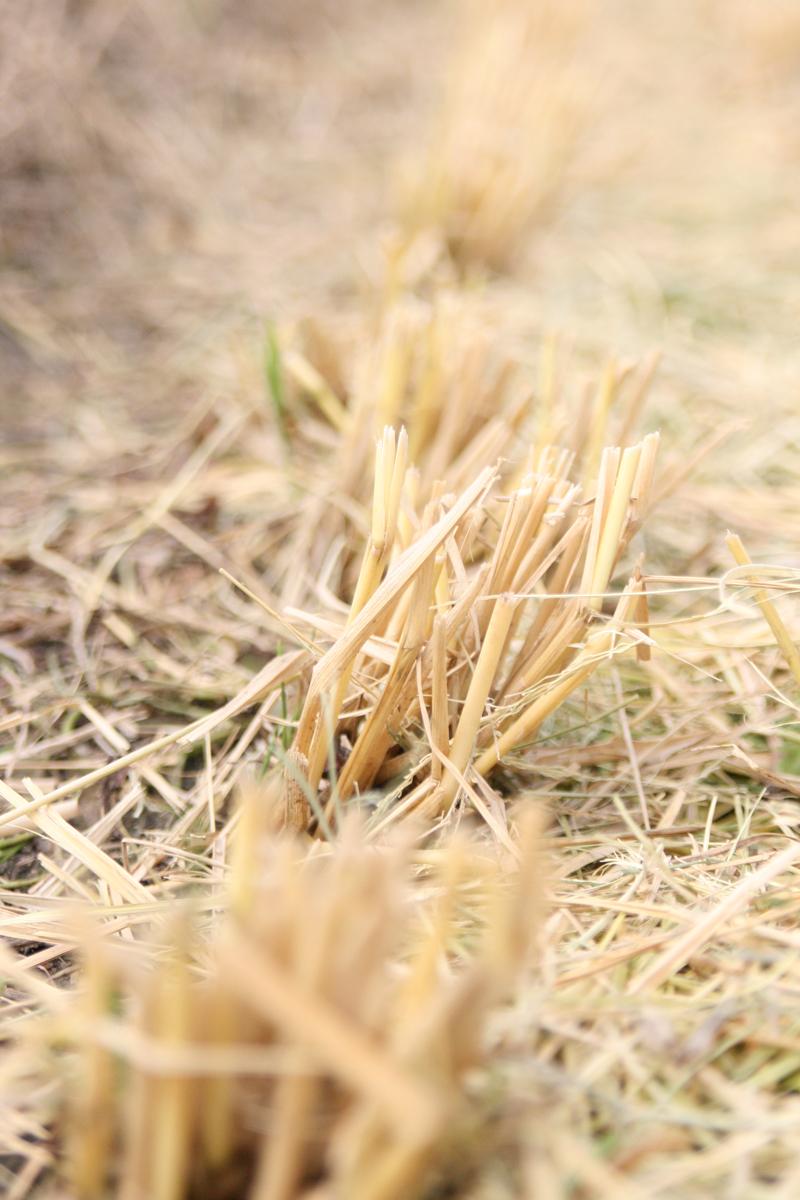 刈り取り終わった稲を踏む感覚大好きです!