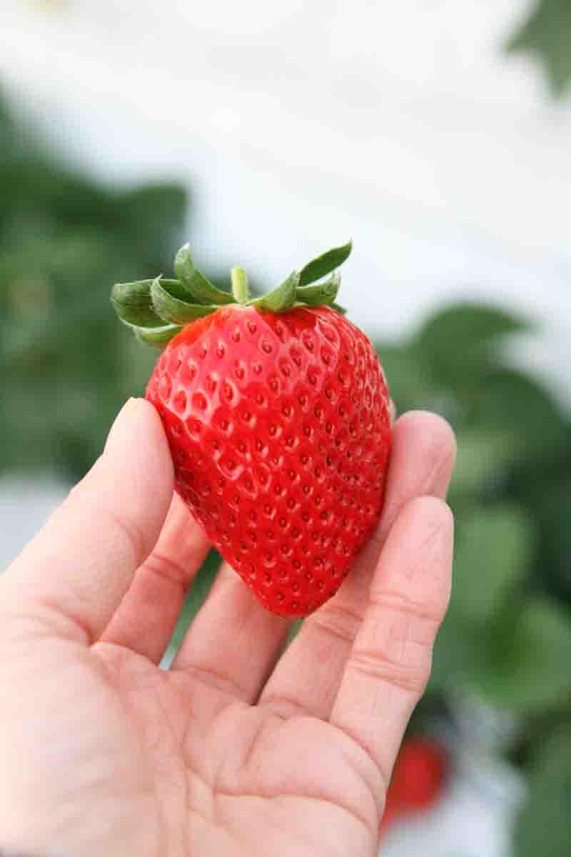 種まで赤くて葉っぱがピンとそれてるいちごを探してみてください!!