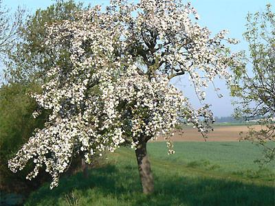 Blühender Apfelbaum Foto: NABU/Foto: R.Jürgens