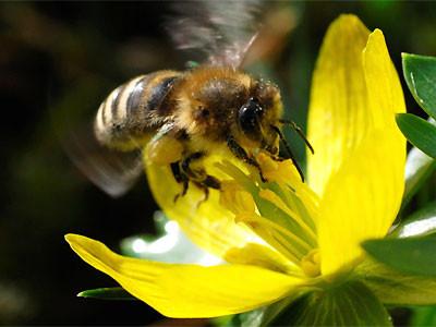 Honigbiene an einer Winterling-Blüte Foto: NABU/Klein