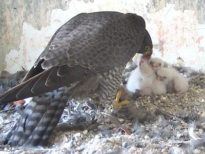 Weibchen beim Füttern der 4 Jungvögel 2009 Foto: BUND/W.Barth