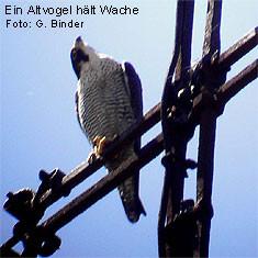 Der Altvogel auf dem Foto sitzt auf dem Turmkreuz der Stadtkirche.