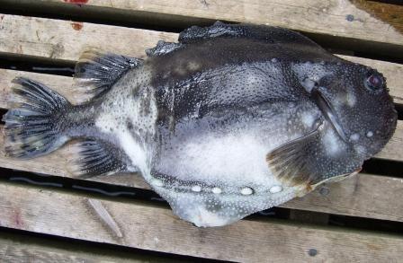 Der Seehase unser Ersatz Kaviar