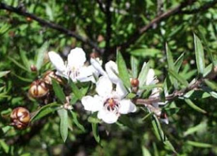 Manuka - Der neuseeländische Teebaum