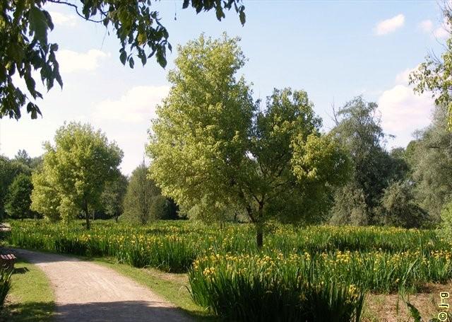 Gelbe Wasserschwertlilien blühen zu Hunderten im Mai