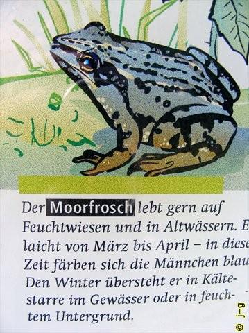 im NSG Biedensand - Moorfrosch (aus Sichttafel)