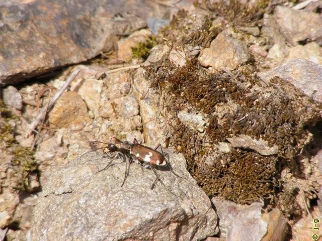 selten geworden: der Berg-Sandlaufkäfer