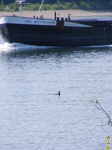 Kormoran auf dem Rhein