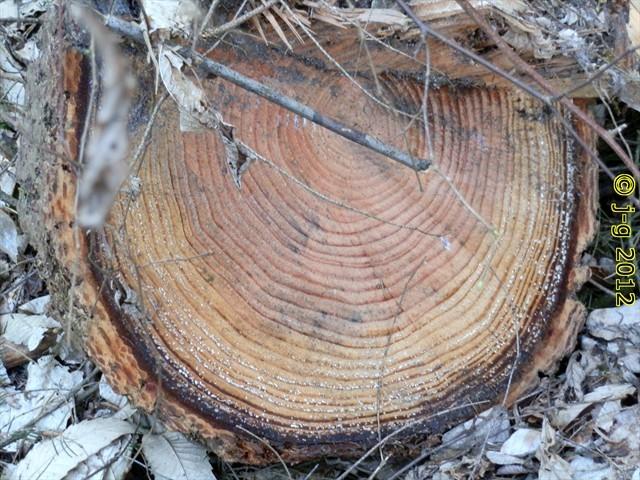 Wie alt wurde der Baum?