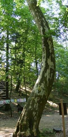 Schlangenbaum unterhalb der Starkenburg