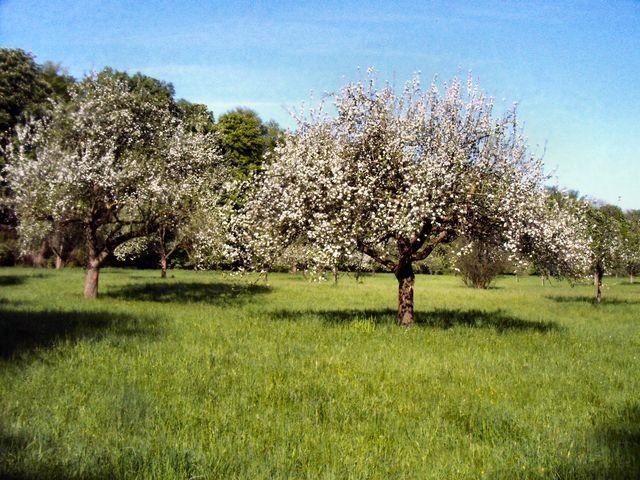 im NSG Biedensand - Streuobstwiese im Frühjahr