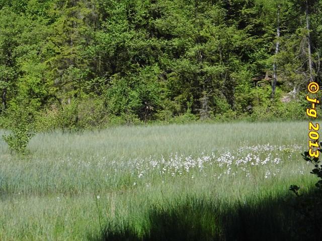 Blüte des Wollgrases