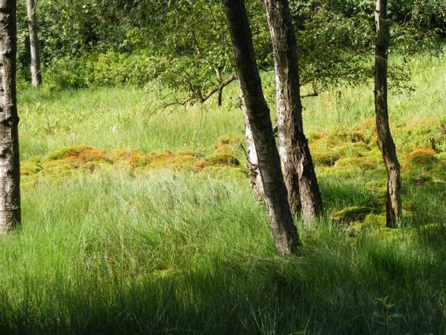 Typische Moorpflanze: Torfmoose (Sphagnum)