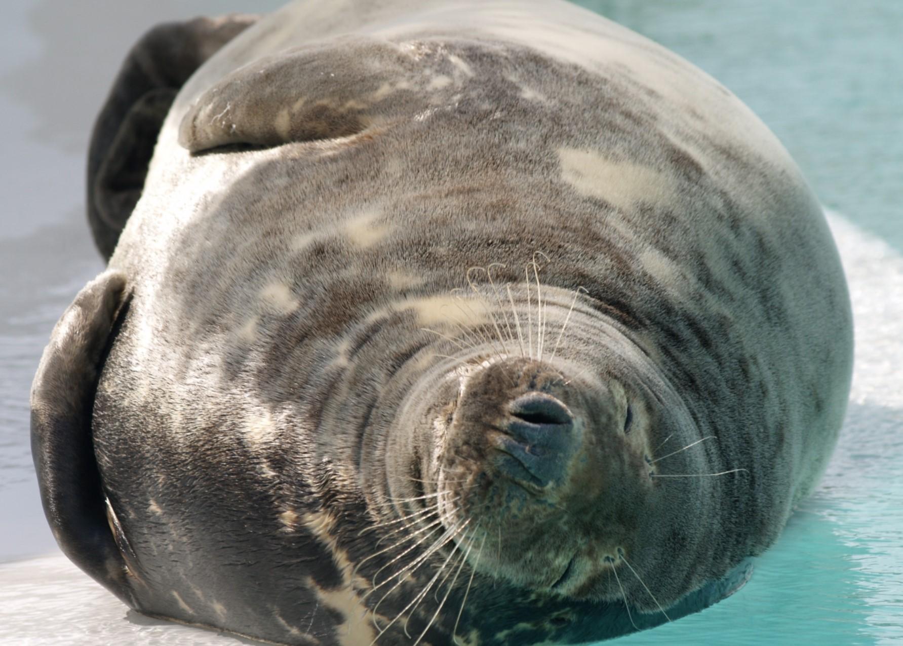 Entspannte Robbe